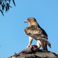 Hieraaetus morphnoides (Little Eagle) at Red Hill Nature Reserve - 6 Apr 2020 by Ct1000