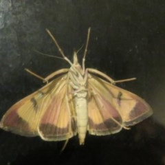 Uresiphita ornithopteralis (Tree Lucerne Moth) at Flynn, ACT - 6 Apr 2020 by Christine