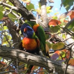 Trichoglossus moluccanus (Rainbow Lorikeet) at Hughes, ACT - 6 Apr 2020 by JackyF