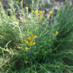Chrysocephalum semipapposum (Clustered Everlasting) at Federal Golf Course - 6 Apr 2020 by JackyF