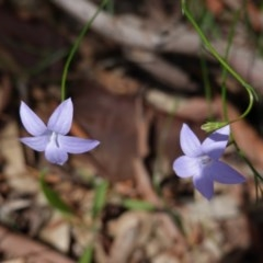 Wahlenbergia sp. (Bluebell) at Hughes, ACT - 1 Apr 2020 by JackyF