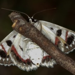 Crypsiphona ocultaria (Red-lined Looper Moth) at West Belconnen Pond - 5 Apr 2012 by Bron