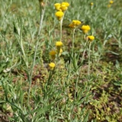 Chrysocephalum apiculatum (Common Everlasting) at Hughes Grassy Woodland - 1 Apr 2020 by JackyF