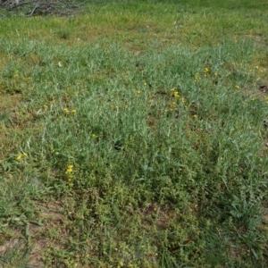 Chrysocephalum apiculatum at Hughes Grassy Woodland - 1 Apr 2020