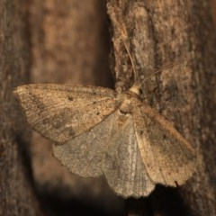 Androchela newmannaria (Newman's Cape-moth) at Black Mountain - 14 Mar 2018 by melanoxylon