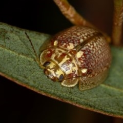 Paropsisterna decolorata (A Eucalyptus leaf beetle) at West Belconnen Pond - 14 Jan 2013 by Bron