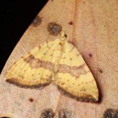 Chrysolarentia polyxantha (Yellow Carpet Moth) at Namadgi National Park - 7 Feb 2019 by melanoxylon
