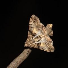 Gastrinodes argoplaca (Cryptic Bark Moth) at Black Mountain - 17 Apr 2018 by melanoxylon