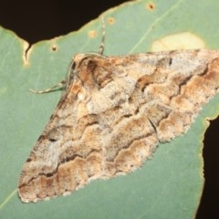 Gastrinodes bitaeniaria (Buff Bark Moth) at Black Mountain - 17 Apr 2018 by melanoxylon