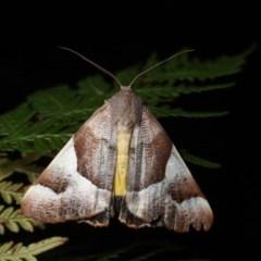 Niceteria macrocosma (Showy Geometrid) at Namadgi National Park - 7 Feb 2019 by melanoxylon