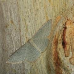 Poecilasthena pulchraria (Australian Cranberry Moth) at Black Mountain - 17 Apr 2018 by melanoxylon