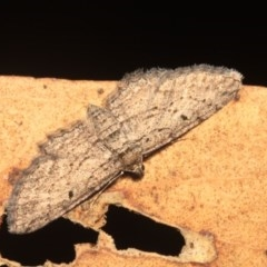 Psilosticha pristis (Little Brown Bark Moth) at Black Mountain - 24 Jan 2018 by melanoxylon