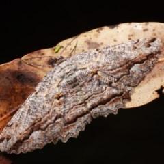 Scioglyptis lyciaria (White-patch Bark Moth) at Namadgi National Park - 7 Feb 2019 by melanoxylon
