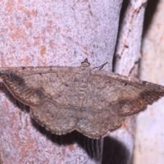 Taxeotis intextata (Looper Moth, Grey Taxeotis) at Black Mountain - 14 Mar 2018 by melanoxylon