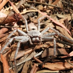 Isopeda sp. (genus) (Huntsman Spider) at Kambah, ACT - 27 Mar 2020 by MatthewFrawley