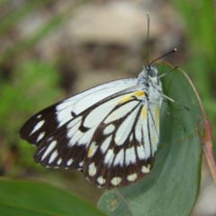 Belenois java (Caper White) at Mount Taylor - 6 Apr 2020 by MatthewFrawley