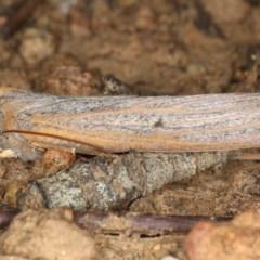 Paralaea porphyrinaria (Chestnut-veined Crest-moth) at Mount Ainslie - 6 Apr 2020 by jbromilow50