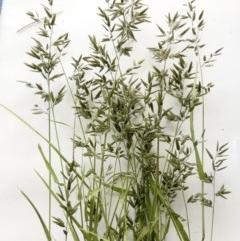 Eragrostis cilianensis (Stinkgrass) at Hughes Garran Woodland - 6 Apr 2020 by ruthkerruish