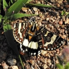 Apina callisto (Pasture Day Moth) at Tuggeranong Hill - 7 Apr 2020 by JohnBundock
