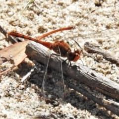Diplacodes bipunctata (Wandering Percher) at Tuggeranong Hill - 7 Apr 2020 by JohnBundock