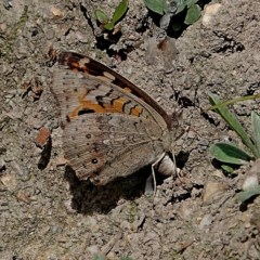 Junonia villida (Meadow Argus) at Brogo, NSW - 6 Apr 2020 by MaxCampbell