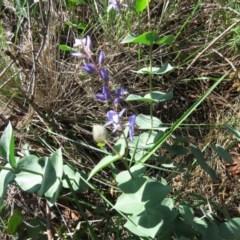 Veronica perfoliata (Digger's Speedwell) at Jerrabomberra Wetlands - 7 Apr 2020 by SandraH