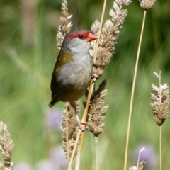 Neochmia temporalis (Red-browed Finch) at Fyshwick, ACT - 20 Mar 2020 by MargD
