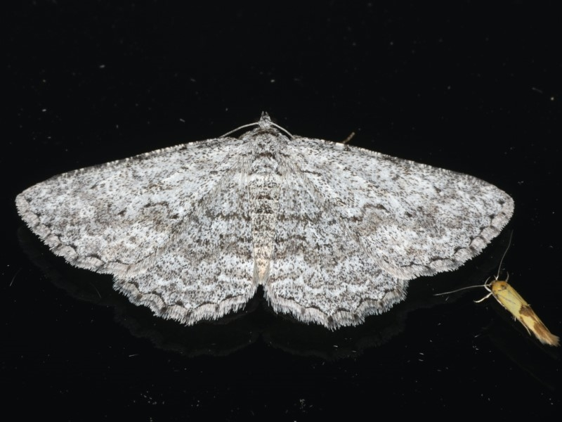 Psilosticha mactaria at Ainslie, ACT - 6 Apr 2020