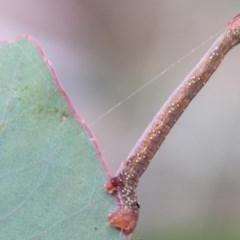 Geometridae (family) IMMATURES (Unidentified IMMATURE Geometer moths) at Callum Brae - 31 Mar 2020 by SWishart