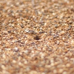 Iridomyrmex purpureus (Meat Ant) at Mount Taylor - 8 Apr 2020 by Speedsta