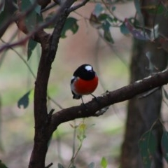 Petroica boodang (Scarlet Robin) at Red Hill Nature Reserve - 7 Apr 2020 by LisaH