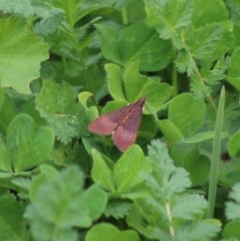 Uresiphita ornithopteralis (Tree Lucerne Moth) at Hughes Grassy Woodland - 7 Apr 2020 by LisaH