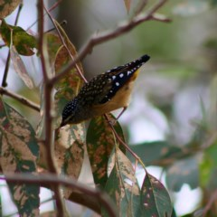 Pardalotus punctatus (Spotted Pardalote) at Red Hill Nature Reserve - 7 Apr 2020 by LisaH