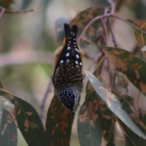 Pardalotus punctatus at Red Hill Nature Reserve - 7 Apr 2020