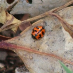 Coccinella transversalis (Transverse Ladybird) at Red Hill Nature Reserve - 7 Apr 2020 by LisaH
