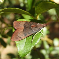 Uresiphita ornithopteralis (Tree Lucerne Moth) at Kambah, ACT - 31 Mar 2020 by MatthewFrawley