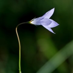 Wahlenbergia capillaris (Tufted Bluebell) at Brogo, NSW - 4 Apr 2020 by MaxCampbell