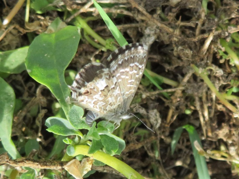 Theclinesthes serpentata at Jerrabomberra Wetlands - 8 Apr 2020