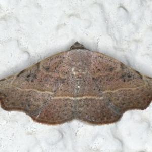 Sophta concavata at Ainslie, ACT - 7 Apr 2020