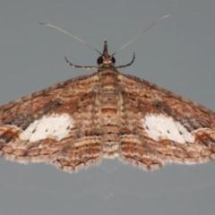 Chloroclystis filata (Filata Moth, Australian Pug Moth) at Ainslie, ACT - 7 Apr 2020 by jbromilow50