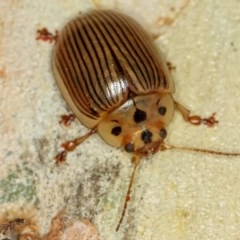 Paropsisterna intacta (Eucalyptus Leaf Beetle) at West Belconnen Pond - 14 Jan 2013 by Bron