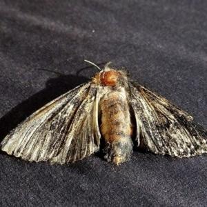 Unidentified adult Lepidoptera at Brogo, NSW - 6 Apr 2020