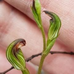 Speculantha rubescens (Blushing tiny greenhood) at Piney Ridge - 8 Apr 2020 by tpreston