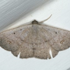 Casbia sp. (genus) (A Geometer moth) at Ainslie, ACT - 8 Apr 2020 by jbromilow50