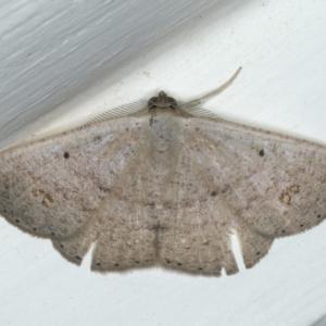 Casbia (genus) at Ainslie, ACT - 8 Apr 2020