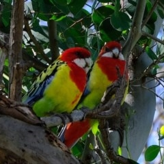 Platycercus eximius (Eastern Rosella) at Kama - 9 Apr 2020 by Kurt