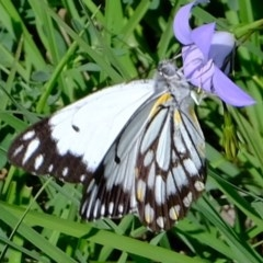 Belenois java (Caper White) at Kama - 9 Apr 2020 by Kurt