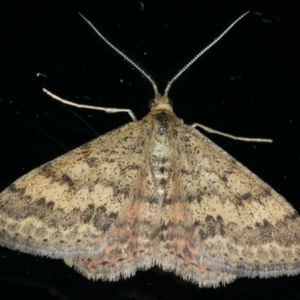 Scopula rubraria at Ainslie, ACT - 8 Apr 2020