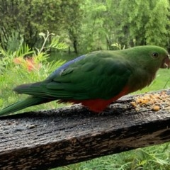 Alisterus scapularis (Australian King-parrot) at Quaama, NSW - 9 Apr 2020 by FionaG