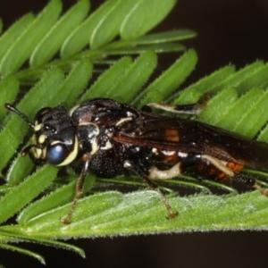 Pergagrapta sp. (genus) at Ainslie, ACT - 8 Apr 2020